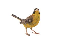 Black-headed Bunting Stock Photo