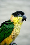 Black headed Caique Stock Images