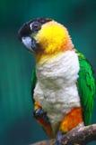 Black-headed Caique. A black-headed Caique parrot stock photo