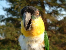 A Black Headed Caique Macro stock photography