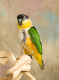 Black Headed Caique Parrot Stock Image