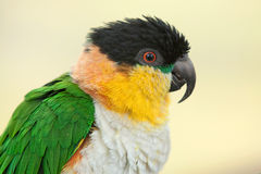 Black headed caique parrot Royalty Free Stock Images