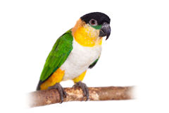 The black-headed caique, Pionites melanocephalus, on white Royalty Free Stock Photos