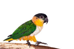 The black-headed caique, Pionites melanocephalus, on white Royalty Free Stock Images