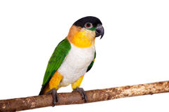 The black-headed caique, Pionites melanocephalus, on white Stock Photography