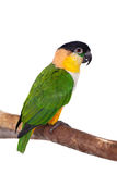 The black-headed caique, Pionites melanocephalus, on white Royalty Free Stock Image