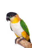The black-headed caique, Pionites melanocephalus, on white Stock Photos