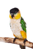The black-headed caique, Pionites melanocephalus, on white Stock Photo