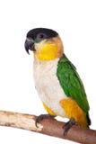 The black-headed caique, Pionites melanocephalus, on white Royalty Free Stock Photo