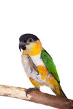 The black-headed caique, Pionites melanocephalus, on white Stock Image