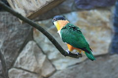 Black-headed caique Stock Images