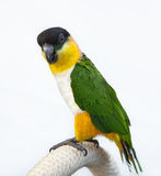 Black-headed Caique on white background. Black-headed Caique (Pionites melanocephala), a South American parrot isolated on a white cloth background Royalty Free Stock Images