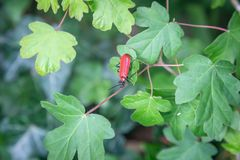 A Beetle. A black headed cardinal beetle on a green leaf stock images