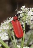 Black headed cardinal beetle (Pyrochroa coccinea) Royalty Free Stock Photography