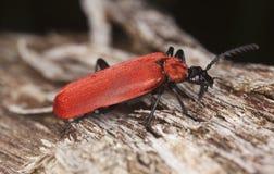 Black headed cardinal beetle (Pyrochroa coccinea) Stock Photos