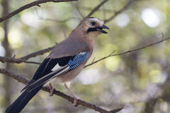 Black-headed or Caucasian  jay who sits on a branch cloudy day Royalty Free Stock Photos