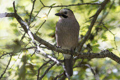 Black-headed or Caucasian  jay who sits on a branch Royalty Free Stock Images