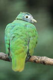 Black-headed fruit dove Royalty Free Stock Photos