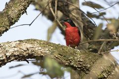 Black-headed Gonolek That Sits On A Thick Branch Of A Tree In An Stock Photo