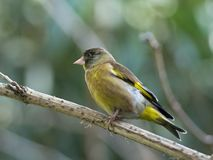 Black-headed Greenfinch Stock Photography