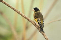 Black-headed greenfinch Royalty Free Stock Photos