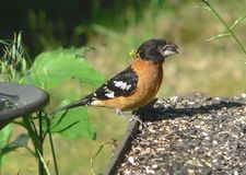 Black-headed Grosbeak. A male Grosbeak collecting seeds to take back to the nest Royalty Free Stock Photos