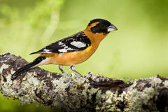 Black Headed Grosbeak. Male Black Headed Grosbeak Perched on Lichen Covered Log stock photos
