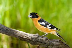 Black Headed Grosbeak. Male Black Headed Grosbeak Perched on Log royalty free stock image