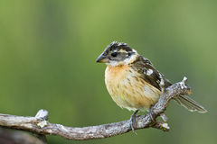 Black Headed Grosbeak Stock Photography