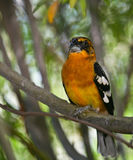 Black-headed Grosbeak Royalty Free Stock Image
