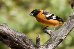 Black Headed Grosbeak Royalty Free Stock Image