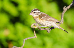 Black-headed Grosbeak, Female Royalty Free Stock Image