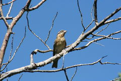 Black-headed grosbeak Stock Photography