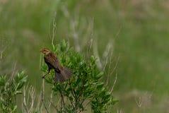 Black-headed grosbeak Royalty Free Stock Images