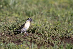 Black-headed Grosbeak, Pheucticus melanocephalus. A female Black-headed Grosbeak forages for seed in a New Mexico meadow Royalty Free Stock Image