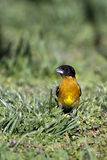 Black-headed Grosbeak, Pheucticus melanocephalus. A male Black-headed Grosbeak in breeding plumage forages for seed in a New Mexico meadow Royalty Free Stock Photo