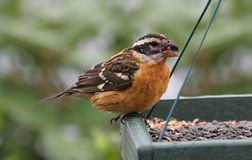 Black-headed Grosbeak (Pheucticus melanocephalus) Royalty Free Stock Photos