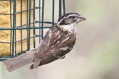 Black-headed Grosbeak (Pheucticus melanocephalus) Royalty Free Stock Image