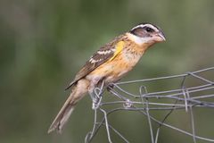 Black-headed Grosbeak (Pheucticus melanocephalus) Stock Images