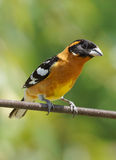 Black Headed Grosbeak - Pheucticus melanocephalus Stock Photography