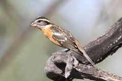 Black-headed Grosbeak (Pheucticus melanocephalus) Royalty Free Stock Photography