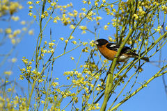 Black-headed Grosbeak, Pheucticus melanocephalus Stock Photo