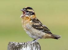 Black Headed Grosbeak - Pheucticus melanocephalus Royalty Free Stock Images