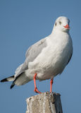 A black headed gul Stock Images