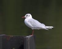Black Headed Gull Royalty Free Stock Photos