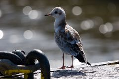Black-headed Gull Royalty Free Stock Image