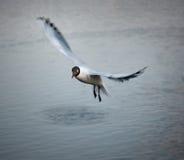 Black-headed Gull Royalty Free Stock Photo