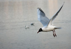 Black-headed gull Stock Photos