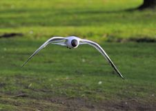 Black-headed gull Stock Photography