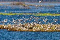 Black headed gull. Flock of Black headed gull stock photos